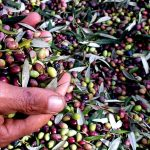 olive oil production tour Platanias Crete
