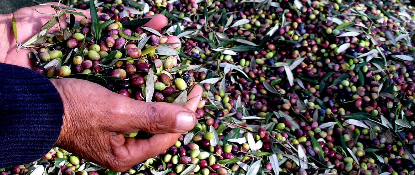 olive oil production tour Platanias Crete