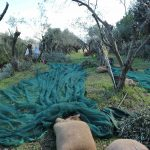 olive picking harvest season in crete greece